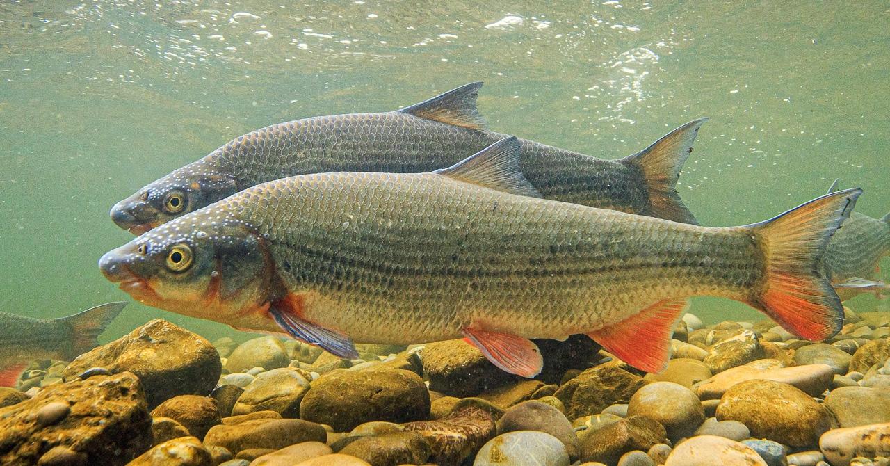 Die Nase ist zum Fisch des Jahres 2020 gewählt worden. Fisch des Jahres © Rainer Kühnis